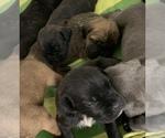 Puppy 7 Cane Corso