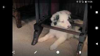 Border Collie Puppy For Sale in BELLVILLE, OH, USA