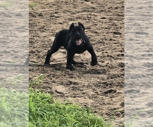 Cane Corso Puppy for Sale in INDIANAPOLIS, Indiana USA