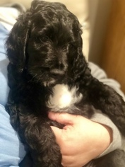 Goldendoodle Puppy for sale in CONCORD, CA, USA