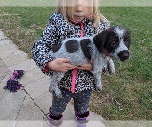 German Wirehaired Pointer Puppy for Sale in PECATONICA, Illinois USA