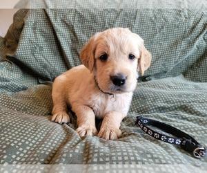 Golden Retriever Dog for Adoption in APPLE VALLEY, California USA