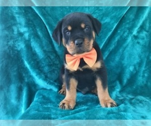 Rottweiler Puppy for sale in PARADISE, PA, USA