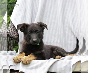 German Shepherd Dog Puppy for sale in KINZERS, PA, USA