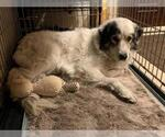 Small #131 Australian Shepherd-Great Pyrenees Mix