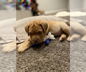 Dogue de Bordeaux Puppy for Sale in WHITTIER, California USA