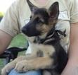 Pure Bred German Shepherd Puppy