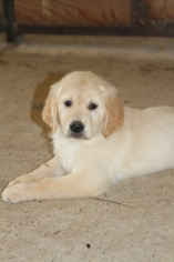Golden Retriever Puppy For Sale in KIRBYVILLE, TX, USA