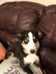 Miniature Australian Shepherd Puppy For Sale in BLUE SPRINGS, MO, USA