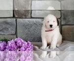 Small #3 Poodle (Miniature)-Saint Bernard Mix
