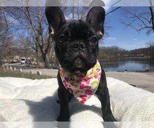 English Bulldog Puppy for Sale in CRANSTON, Rhode Island USA