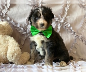 Poodle (Standard)-Siberian Husky Mix Puppy for sale in LANCASTER, PA, USA