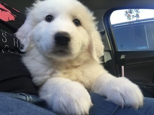 Great Pyrenees Puppy For Sale in ORLANDO, FL, USA