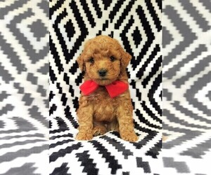 Poodle (Toy) Puppy for sale in LANCASTER, PA, USA