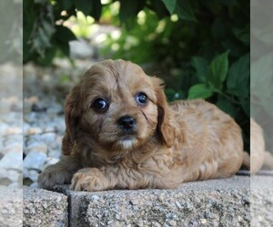 Cavapoo Puppy for sale in GAP, PA, USA