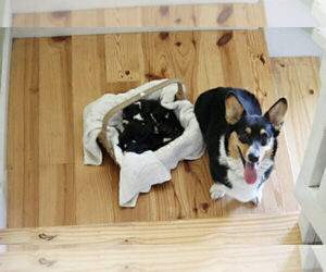 Mother of the Pembroke Welsh Corgi puppies born on 09/09/2020