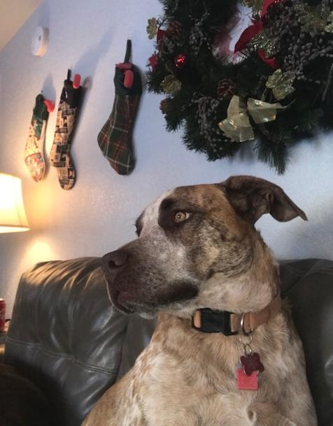 Mastiff Mix dog