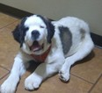 Saint Bernard Puppy For Sale in PEYTON, CO, USA