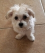 Morkie Puppy For Sale in ORLANDO, FL, USA