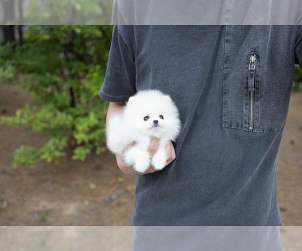 Medium Photo #1 Pomeranian Puppy For Sale in ASTORIA, NY, USA