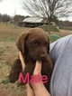 Chesapeake Bay Retriever Puppy For Sale in PARAGOULD, AR