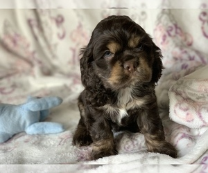 Cocker Spaniel Puppy for sale in EAGLE, ID, USA