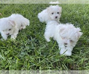 Maltese Puppy for sale in PLANT CITY, FL, USA