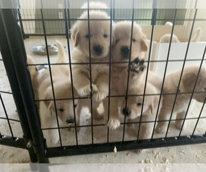 Golden Retriever Puppy for Sale in AUMSVILLE, Oregon USA