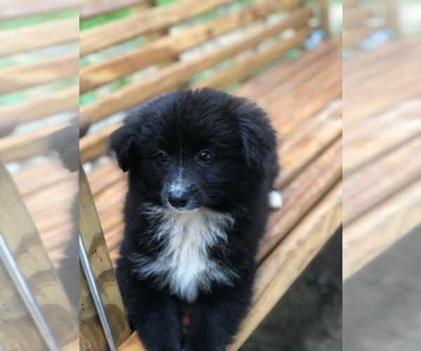 Medium Photo #3 Labrador Retriever-Pomeranian Mix Puppy For Sale in SPENCER, TN, USA