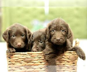 Labradoodle Puppy for sale in AMERICAN CANYON, CA, USA