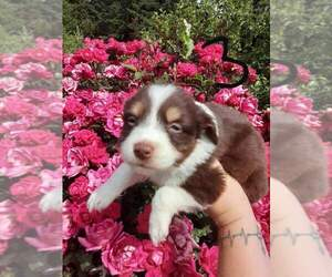 Miniature Australian Shepherd Dog for Adoption in VANCOUVER, Washington USA