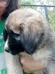 Anatolian Shepherd Puppy For Sale in LEXINGTON, SC