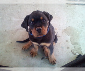 Rottweiler Puppy for Sale in APPLE VALLEY, California USA
