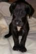 Great Dane Puppy For Sale in WHITTIER, CA