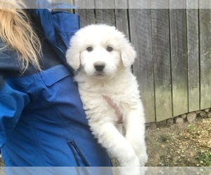 Great Pyrenees Dog for Adoption in OAKDALE, Tennessee USA