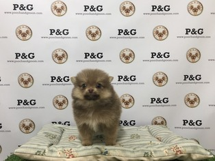 Pomeranian Puppy For Sale in TEMPLE CITY, CA