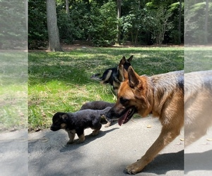 Mother of the German Shepherd Dog puppies born on 05/07/2020