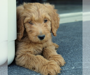 Goldendoodle Dog for Adoption in EPHRATA, Pennsylvania USA