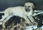 Great Dane Puppy For Sale in BARBOURVILLE, KY