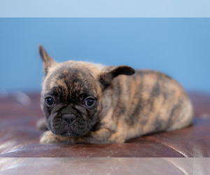 French Bulldog Puppy for sale in GALLOWAY, OH, USA