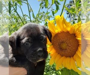 Mastiff Puppy for sale in VANCOUVER, WA, USA