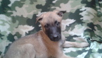 Belgian Malinois Puppy For Sale in GERBER, CA, USA