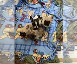 French Bulldog Puppy for sale in HILLSBORO, OR, USA