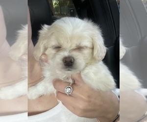 Maltipoo Puppy for Sale in HIALEAH, Florida USA
