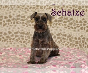 Mother of the Schnauzer (Miniature) puppies born on 08/30/2020