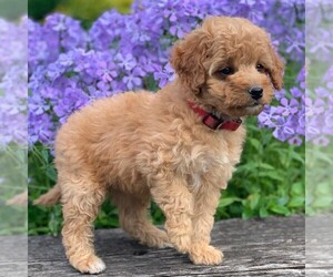 Goldendoodle-Poodle (Miniature) Mix Dog for Adoption in NEWPORT, Pennsylvania USA