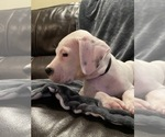 Small #12 Dogo Argentino