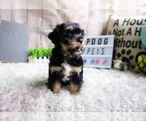 Maltipoo Mix Puppy for Sale in FULLERTON, California USA