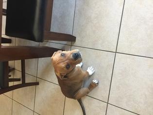 American Pit Bull Terrier Dog For Adoption in LAS VEGAS, NV, USA