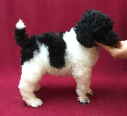 Poodle (Standard) Puppy For Sale in WAYNESBURG, PA